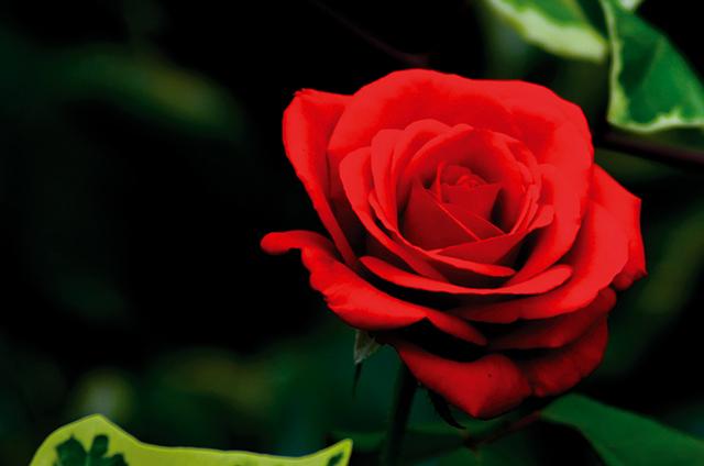 Crvena ruža Elbasana